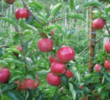 Le verger de séru - La pomme Milenga