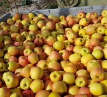 La pomme Rubis Gold - Vergers de Séru