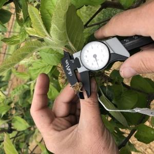 Mesures de croissance des fruits - Vergers de séru