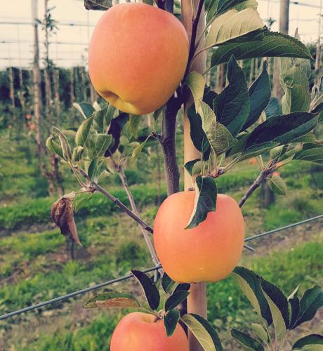 Pommes sur branche du Verger de Séru